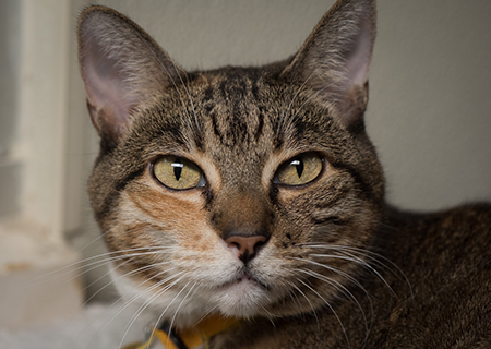 Belle-30213-Dublin-Cat-Spotlight